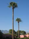 Arizona_inn_tree